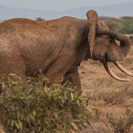 itching  by Wim Moons - Animals Other Mammals ( elephant, mamal, african elephants )