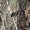 Eastern gray squirrel