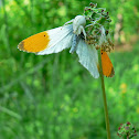 Orange Tip and Flower crab spider