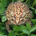 Common Sunda Toad