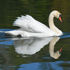 Looking At You, Looking At Me by Ed Hanson - Animals Birds ( water, reflection, white, swan, lake )