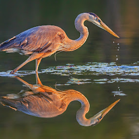 Morning Hunt by Bill Killillay - Animals Birds ( bird, 11foto, killillay, fine art, sunrise, morning, 11foto.com, heron )