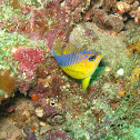 Bluelined Wrasse