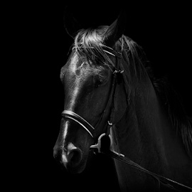 Working by Mari du Preez - Animals Horses ( black and white, horse, gelding, portrait, equestrian )