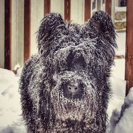 Snow Day by Kurt Gaulke - Animals - Dogs Portraits (  )