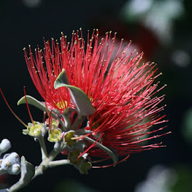 CALLIANDRA  2 by Giovanna Pagliai - Nature Up Close Other plants ( amazing, bees, red, tree, bugs., etractive, exotic )