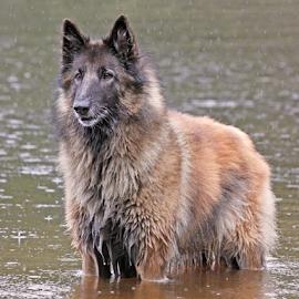 Raining by Mia Ikonen - Animals - Dogs Portraits ( belgian shepherd tervueren, happy, finland, lake, rain )