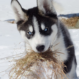 by Terri-Lyn Love - Animals - Dogs Portraits ( winter, snow, husky )