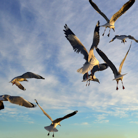 seagull mayhem by Mariaan Vorster - Animals Birds (  )