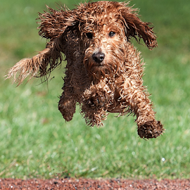 Mid air  by Michael  M Sweeney - Animals - Dogs Puppies ( play, puppy, michael m sweeney, run, nikon, running )