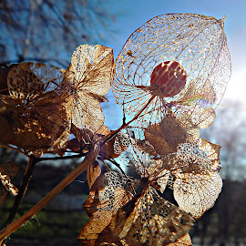 Hello Sun - Winter Tale by Marija Jilek - Nature Up Close Other Natural Objects ( nature, tale, quiver, plants, hydrangea, leaves, fruit/seed, sun, physalis )