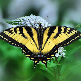 Eastern Tiger Swallowtail by Liz Crono - Animals Insects & Spiders ( swallowtails, butterflies )