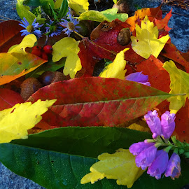 leaf beauty by Deegee English - Artistic Objects Other Objects ( nature, fall colors, beauty, leaf, light, fall, color, colorful )