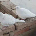 Release Dove or White Dove