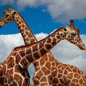 Giraffes by Andrew Moore - Animals Other (  )