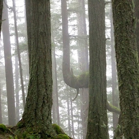 Rainforest Morning ~ Oregon by Joan Rankin Hayes - Nature Up Close Trees & Bushes ( fog, misty scene, trees, forest, landscape )