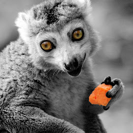 Lemur by Ralph Harvey - Animals Other ( wildlife, lemur, ralph harvey, bristol zoo, animal, selective color, pwc )