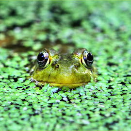Happy Green by Dennis Ba - Animals Amphibians ( frog, frog pond )