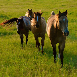 Horses in South Dakota by Tyrell Heaton - Animals Horses ( horses, south dakota )