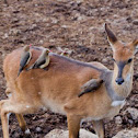 Reedbuck (female)