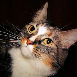 Elizabeths Eye's by Sue Delia - Animals - Cats Portraits ( cat, eye's, yellow,  )