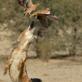 Snack time by Tobie Oosthuizen - Animals Other Mammals ( sand grouse, leaping, prey, kgalagadi, jackal )