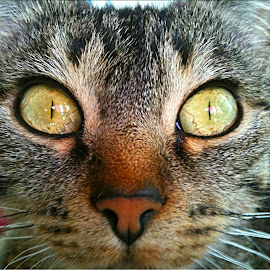Eyes by Shaasn ND - Animals - Cats Portraits ( cat, eyes )