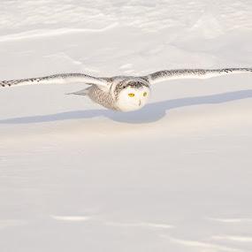 Snowy Shadow by Rolland Gelly - Animals Birds ( rolland )