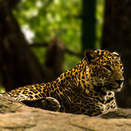 Proud Leopard by Ashutosh Tiwari - Animals Lions, Tigers & Big Cats ( wild cat, wildlife, forest, wild leopard, leopard )