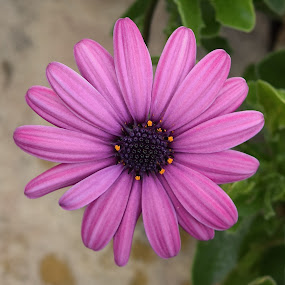 Can't Get Enough Of These by Ed Hanson - Flowers Single Flower ( nature, purple, daisy, close-up, flower )