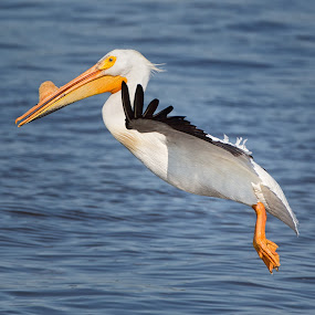 White Pelican Looking for a Place to Land by Martin Belan - Animals Birds ( pelican in flight, iowa, white pelican, pelican, birds, birds in flight, , bird, fly, flight )