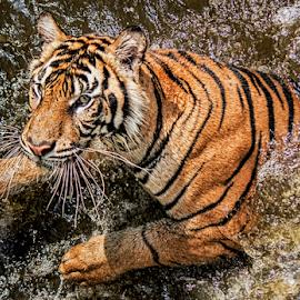 Harimau Sumatera by Ubayoedin As Syam - Animals Lions, Tigers & Big Cats