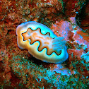 Coi nudibranch