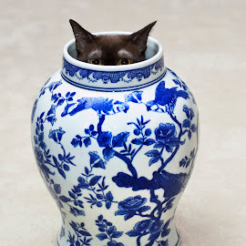Burmese in Ginger Jar by George Holt - Animals - Cats Playing ( playing, ginger jar, cat, ginger, hiding, jar, play, funny, cute, burmese cat, burmese )