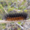Salt Marsh Caterpillar