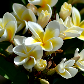 White Frangipani 30 by Mark Zouroudis - Flowers Tree Blossoms