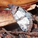Rupicolana orthias