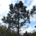 South Florida Slash Pine