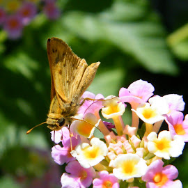 Moth getting nectar by Donna Probasco - Novices Only Wildlife (  )