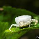 WhiteCrab Spider