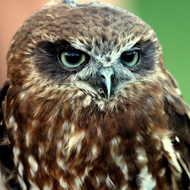 BooBook Owl by Ralph Harvey - Animals Birds ( bird, wildlife, ralph harvey, longleat )