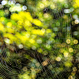 Transparent Wall  by Sadat Hossain - Nature Up Close Webs ( nature, jungle, web, bokeh, daylight )