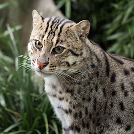 Fishing Cat by Selena Chambers - Animals Other Mammals ( wild cat, cat, wildlife, fishing cat, portrait )