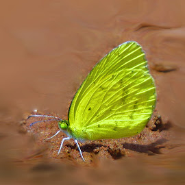Butterfly.. by Amanda Coertze - Animals Insects & Spiders ( butterfly, yellow,  )