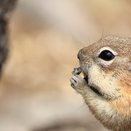 Snack by Julia Nicely - Animals Other Mammals ( mountains, chipmunk, colorado, nuts, snack, squirrel )
