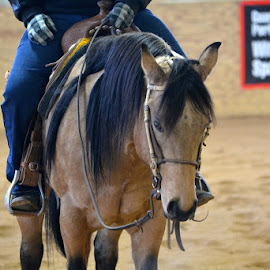 Levi by Brian Shoemaker - Novices Only Pets ( training, reiner, relax, horse, levi )