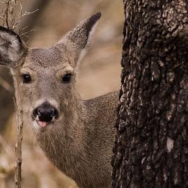 Nah, Nah, Nah..... by Gretchen Steele - Animals Other Mammals ( whitetail, wildlife, doe, woodland animals, deer )