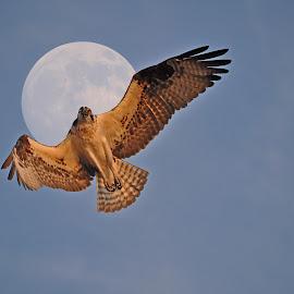 Osprey Moon by Skye Ryan-Evans - Animals Birds ( fish eagle, bird of prey, fish hawk, hovering osprey, super moon, osprey and moon, full moon, raptor, osprey )