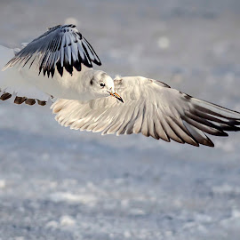 gull by Alexandru Andreescu - Animals Birds ( bird, fly, flight )