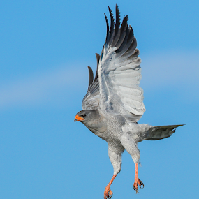 Chanting Goshawk by Rian Van Schalkwyk - Animals Birds ( flying, chanting goshawk, etosha, raptor,  )